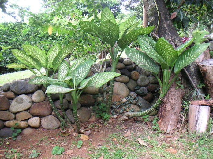 Dieffenbachia plante otravitoare