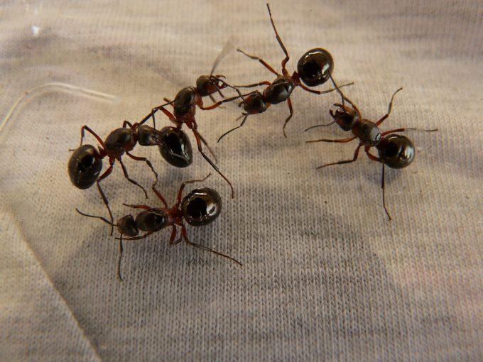 cum sa scapi de furnici 5 sfaturi utile