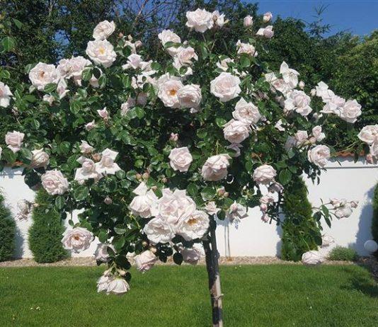 trandafiri infloriti toata vara