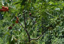 pomul cu 40 de fructe