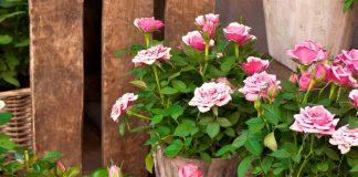 Trandafiri pitici la ghiveci