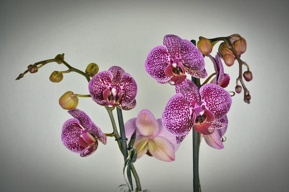 boboci de orhidee