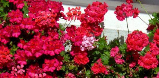 muscata roz