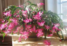 Craciunita cactus