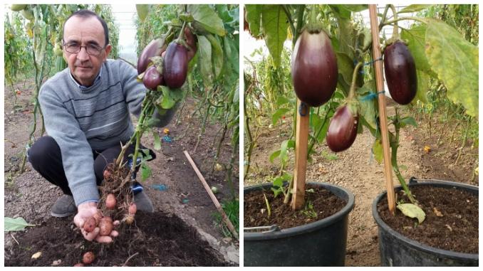 Asa ceva sigur n-ati mai vazut ! O nouă reușită a legumicultorului român Vali Cucu! A obținut planta care face și cartofi și vinete