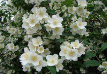 flori de iasomie