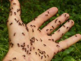 cum sa scapi de furnici
