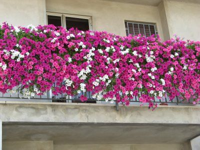 petunii curgatoare pe balcon