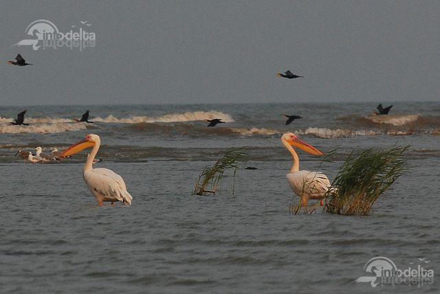Pelicani creti Insula Sacalin