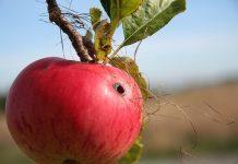 mere cu viermi